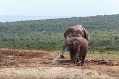 Elefantes que se colocan y que juegan con el tubo de agua foto de archivo libre de regalías