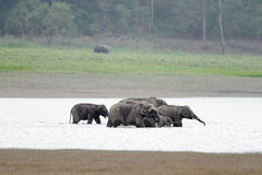 Elefantes que se refrescan abajo en el río de Ram Ganga, Jim Corbett Imagenes de archivo