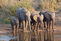 Elefantes que tomam uma bebida Fotografia de Stock