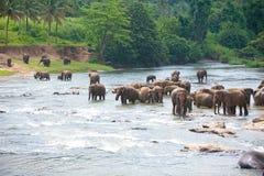 Elefantes que vadeiam no rio Imagem de Stock
