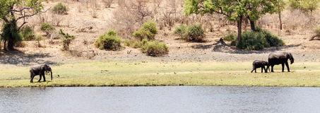 Elefantes - rio de Chobe, Botswana, África Fotografia de Stock Royalty Free