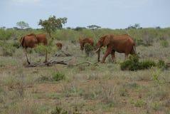 Elefantes rojos Imagen de archivo