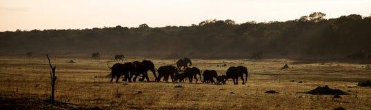Elefantes Running Imagens de Stock
