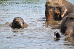 Elefantes salvajes Imagen de archivo