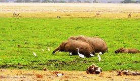 Elefantes salvajes africanos Fotos de archivo libres de regalías