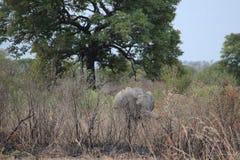 Elefantes salvajes africanos fotografía de archivo libre de regalías