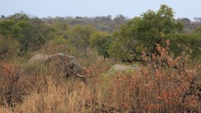 Elefantes salvajes de Forest And Long Tusk Africa fotos de archivo libres de regalías