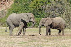 Elefantes salvajes del desierto en Namibia África Foto de archivo