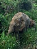 Elefantes salvajes en Sri Lanka Fotos de archivo