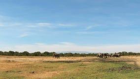 Elefantes salvajes en un campo almacen de metraje de vídeo
