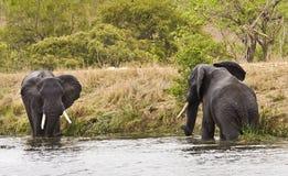 Elefantes salvajes que juegan en el riverbank, parque nacional de Kruger, Suráfrica Foto de archivo