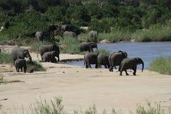 Elefantes sedientos Imagen de archivo libre de regalías