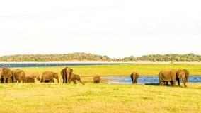 Elefantes selvagens imagens de stock