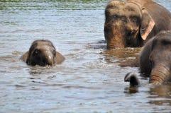 Elefantes selvagens Imagem de Stock