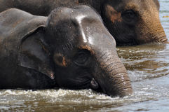Elefantes selvagens Fotografia de Stock