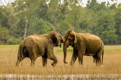 Elefantes selvagens no amor fotos de stock