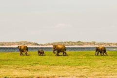 Elefantes selvagens que andam para o banho imagem de stock