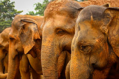 Elefantes srilanqueses Fotografía de archivo