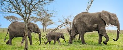 3 elefantes todos en fila Foto de archivo libre de regalías