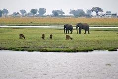 Elefantes y antílope en Botswana fotografía de archivo
