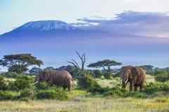 Elefantes y Kilimanjaro imagen de archivo