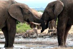 Elefantes y warthog imagenes de archivo
