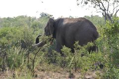 Elefantessen stockfotos