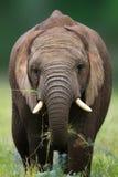 Elefantessen Lizenzfreie Stockbilder