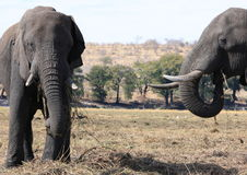 Elefantessen Stockfotografie