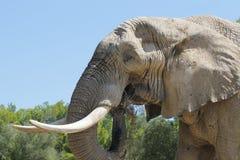Elefantessen Stockfoto