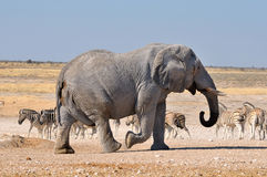 elefantetoshanamibia nationalpark royaltyfri fotografi