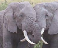 Elefantförälskelse Fotografering för Bildbyråer