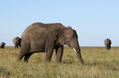 Elefantfütterung Stockfotografie