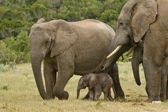 Elefantfamilie stockfoto