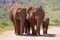 Elefantfamilie, die auf eine Schotterstraße geht Stockfoto