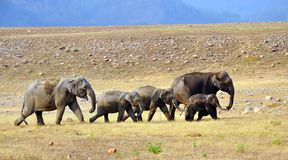 Elefantfamilie: Größtes Säugetier auf Land Lizenzfreie Stockbilder