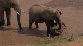 Elefantfamilie mit spielerischem Babyelefanten kühlt ab und trinkt Wasser im Fluss stock video footage