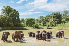 Elefantfamilie, Sri Lanka Stockbild
