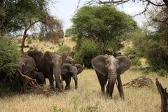 Elefantfamilie und ein männlicher Elefant in Nationalpark Tarangire lizenzfreie stockbilder