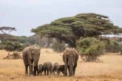 Elefantfamilj i Amboseli Arkivfoton