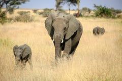 Elefantfamilj i den Serengeti nationalparken Arkivfoton