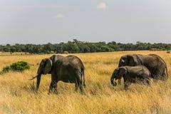 Elefantfamilj på öppet område på afrikansk sawanna Arkivfoto