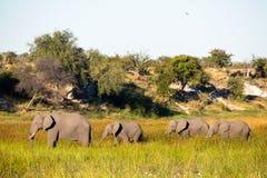 Elefantfamilj på flyttningen arkivbild