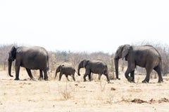 Elefantfamilj på gå Royaltyfri Bild