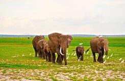 Elefantfamilj på safari i Amboseli royaltyfria bilder