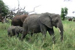 Elefantfamilj som går i namibisk öken Arkivfoto