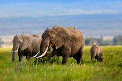 Elefantfamilj som äter gräs Arkivbild