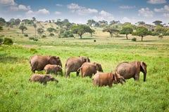 Elefantfamiljen betar på i afrikansk savann tanzania Arkivfoto