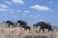 Elefantfamiljen går Tom Wurl Royaltyfri Bild