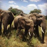 Elefantfamiljen i Tanzania catched precis bredvid oss royaltyfri fotografi